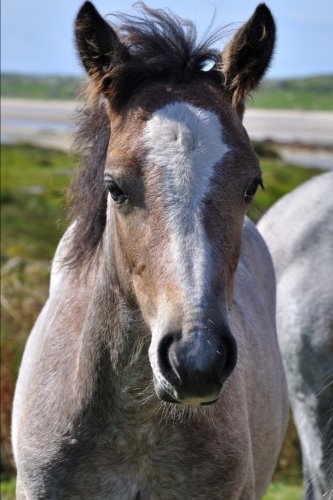 The Connemara Pony Journal: 150 page lined notebook/diary