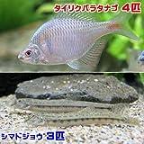 (淡水魚)タイリクバラタナゴ(4匹) + シマドジョウ(3匹) どじょう 本州・四国限定[生体]