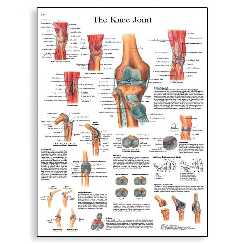 "3B Scientific VR1174L Glossy Laminated Paper The Knee Joint Anatomical Chart, Poster Size 20"" Width x 26"" Height - 1"
