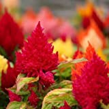 Flora Fields Celosia (Coxcomb) - Jewel Box Mix