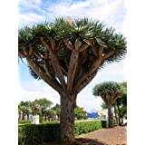 8 Dracaena Draco Dragon Tree Plant Seeds Dragon's Blood