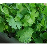 200+ Cilantro Seeds- Chinese Parsley- Coriander- Herb 2015 Seeds