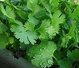 200+ Cilantro Seeds- Chinese Parsley- Coriander- Herb 2015 Seeds