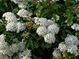 【6か月枯れ保証】【春に花が咲く木】コデマリ 0.5m