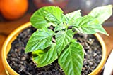 25 Ghost Pepper Seeds by Donaldson Farms-Bhut Jolokia Seeds-Hot Pepper Seeds!