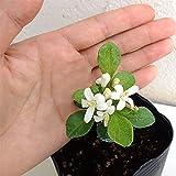 超わい性ゲッキツ・ナナ3号ポット[わずか数センチで開花!香りのよい白花を咲かせるシルクジャスミン]