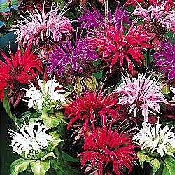 Garden design garden design with the best perennial flowers to garden design with amazon monarda panarama mix bee balm flower seeds mightylinksfo