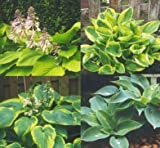 Mixed Hybrid Hosta 20 Seeds - Shade Lover