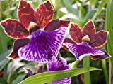 1 blühfähige Orchidee der Sorte: Zygopetalum