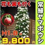常緑ヤマボウシ 樹高1.8m前後 ホンコンエンシス月光