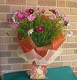 【季節限定】秋らしく思い切ってコスモスだけの花束:5,400円