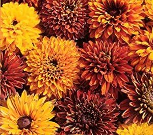 Cherokee Sunset Black-Eyed Susan-4 Plants-Rudbeckia