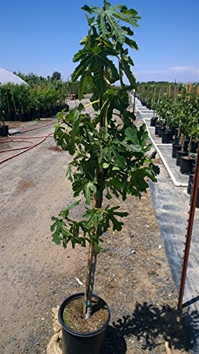 dwarf fig tree products home gardening pros