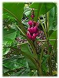 10 Seeds Musa Velutina Seeds (Pink Velvet Banana Seeds) Indoor Air Purification House Plant