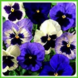 AJP Pansy F1 Matrix Series 'Ocean Breeze Mixed'