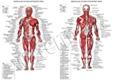 Human Muscular System A1 A2 A3 Science Muscle Education Human