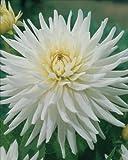Dahlia 'My Love' (Dahlia My Love) 1 tuber