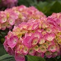 Let's Dance Big Easy® PPAF Hydrangea Bush - REBLOOMING - Proven Winners