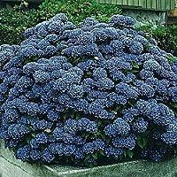 'All Summer Beauty' Hydrangea Perennial - Bold Blooms! - 4