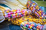 (Rainbow #2460) Vegetables Seeds 60glass Gem Landrace Corn Rainbow Seeds