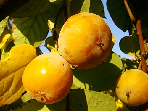 3x-american-persimmon-diospyros-virginiana-seedlings-in-9cm-pot-small-tree-with-tomato-sized-sweet-e