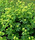 Sycamore Trading ALCHEMILLA mollis or Lady's Mantle