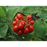 1000 American GINSENG SEEDS Grow your own wild roots