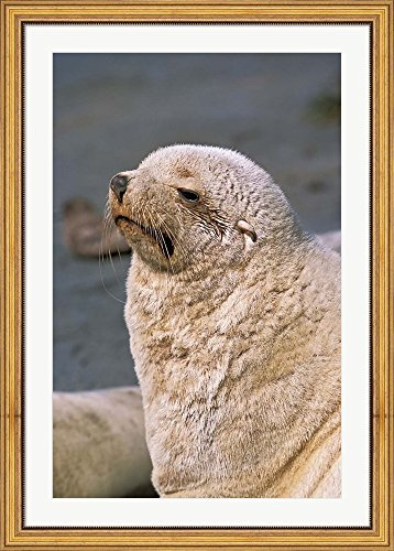 White Seal, South Georgia, Sub-Antarctica by Martin Zwick / Danita Delimont Framed Art Print Wall Picture, Wide Gold Frame with Hanging Cleat, 32 x 44 inches