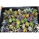 25 Succulent ROSETTE style CUTTINGS great for Vertical Gardens, Weddings and Wreaths