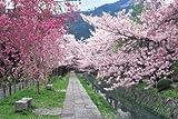 パズルの超達人 2016ピース 桜咲く哲学の道-京都 23-550