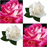 (Combo Of 2 Colors) Floral Treasure White & Pink Rose Seeds - Pack Of 20