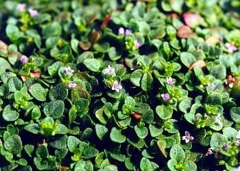 """Corsican Mint Herb Plant - Mentha requienii - 4"""" pot"""