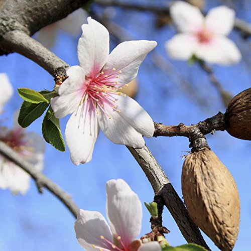 garden-prince-almond-nut-and-fruit-tree-in-a-75l-pot