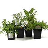 Organic Gourmet Herb Collection Thyme, Oregano, Rosemary, Sage 4 Live Plants Herb Kits Organic Grown Herbs Fresh Herbs Culinary Herb Assortment Container Gardening