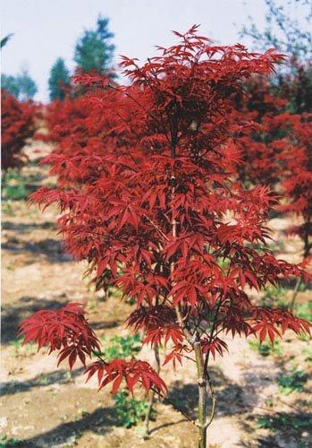 Blood Leaf Japanese Maple