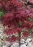 TROPICA - Japanese Maple (Acer palmatum atropurpureum) - 20 Seeds - Winter-Hardy
