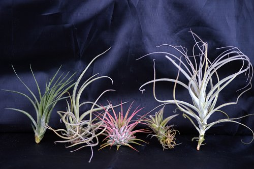 9GreenBox bromeliads seeds