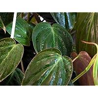 Rare Velvet Leaf Bronze Micans Vine - Easy to grow