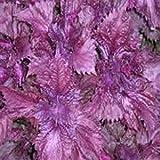 Perilla Seeds, Purple (Zi Su, Aka Shiso)- Great Looking in the Garden!(25 - Seeds) (Tamaño: 25 - Seeds)