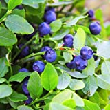 Outsidepride Blueberry Fruit Plant Vaccinium Myrtillus Seed - 1000 Seeds (Color: green, Tamaño: A) 1000 seeds)