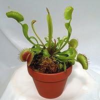 Large Venus Fly Trap Plant - CARNIVOROUS-Dionaea - 3