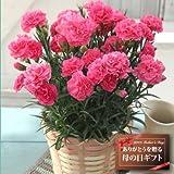 【送料無料!母の日ギフト】カーネーション5号鉢(ピンク)【5/12~5/13お届】