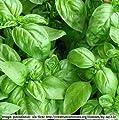Basil - Sweet Basil - 'True Italian Basil' - 700 seeds