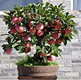 Trial product Bonsai Apple Tree Seeds 30 Pcs apple seeds (used wet sand sprouting )fruit bonsai garden in flower pots planters