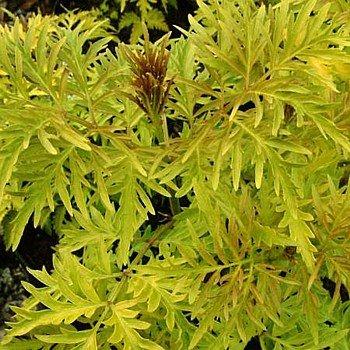 Sutherland Gold Elderberry - Sambucus - NEW - HARDY - 4