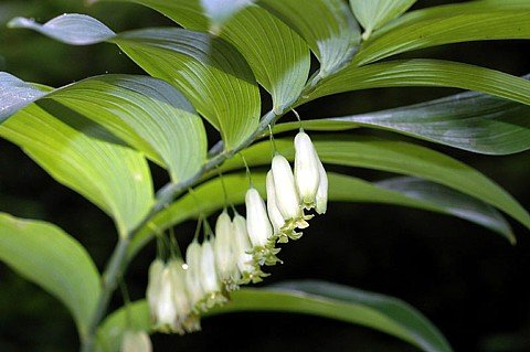 Buy King's Japanese Solomon's Seal – Polygonatum – Shade