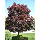 Crimson King Maple Tree - Dark Purple Foliage That Glows in The Sun! (2 Years Old and 3-4 feet Tall.) (Color: Purple)