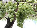 【6か月枯れ保証】【秋に収穫する果樹】ブドウ/ナイアガラ 15cmポット