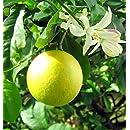 Hirt's 'Meyer' Lemon Tree - Potted - Fruiting Size - 8