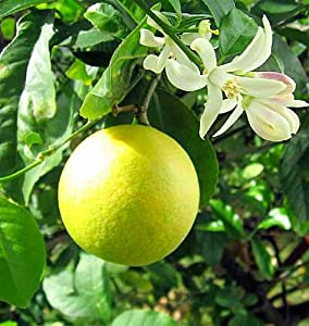 "Hirt's 'Meyer' Lemon Tree - Potted - Fruiting Size - 8"" Pot - Citrus"